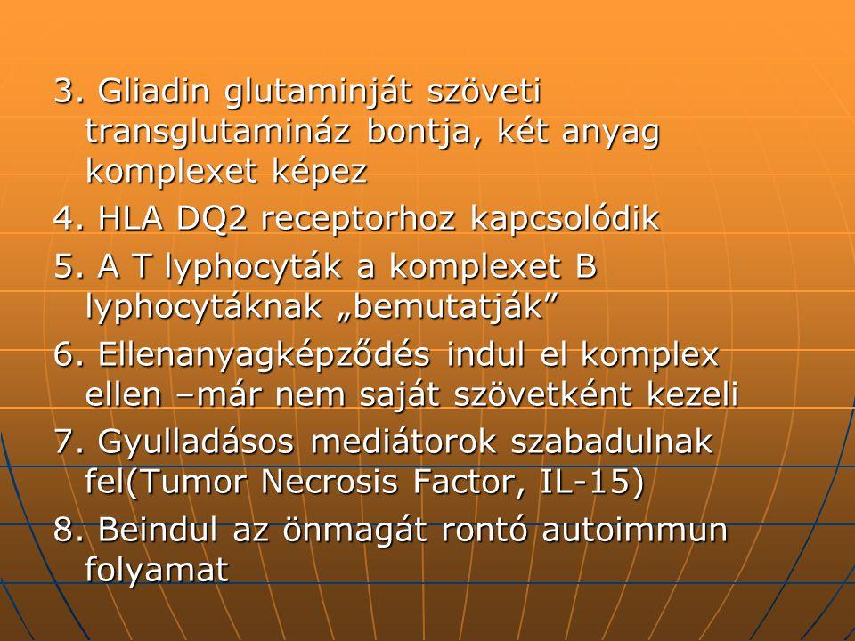 3. Gliadin glutaminját szöveti transglutamináz bontja, két anyag komplexet képez