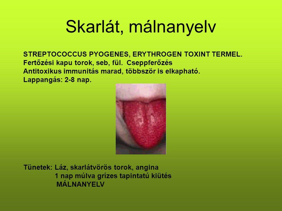 Skarlát, málnanyelv STREPTOCOCCUS PYOGENES, ERYTHROGEN TOXINT TERMEL.