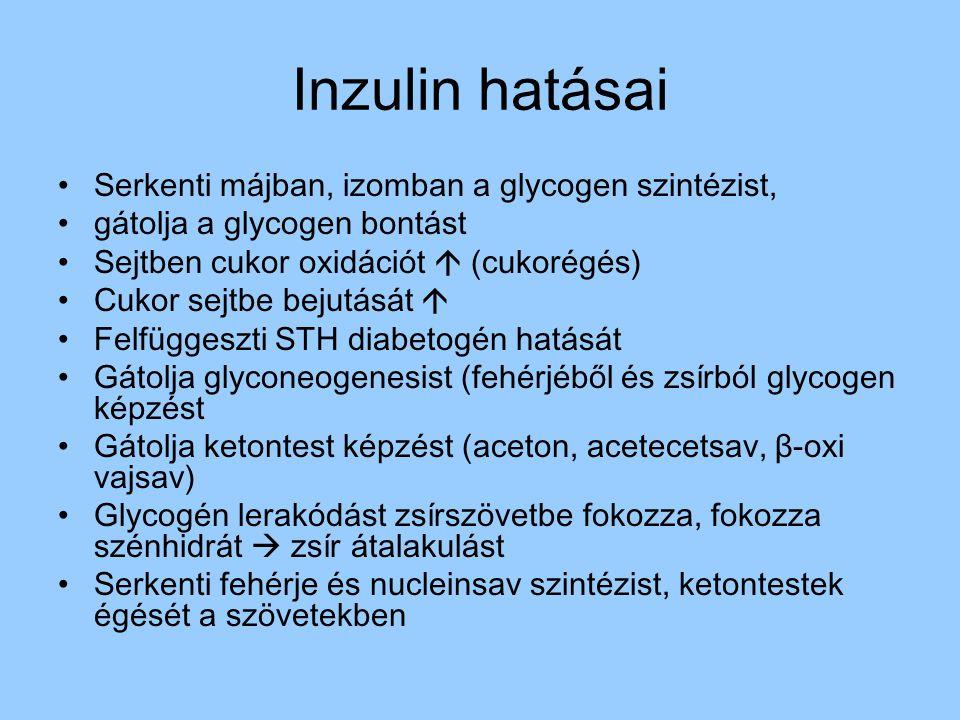 Inzulin hatásai Serkenti májban, izomban a glycogen szintézist,