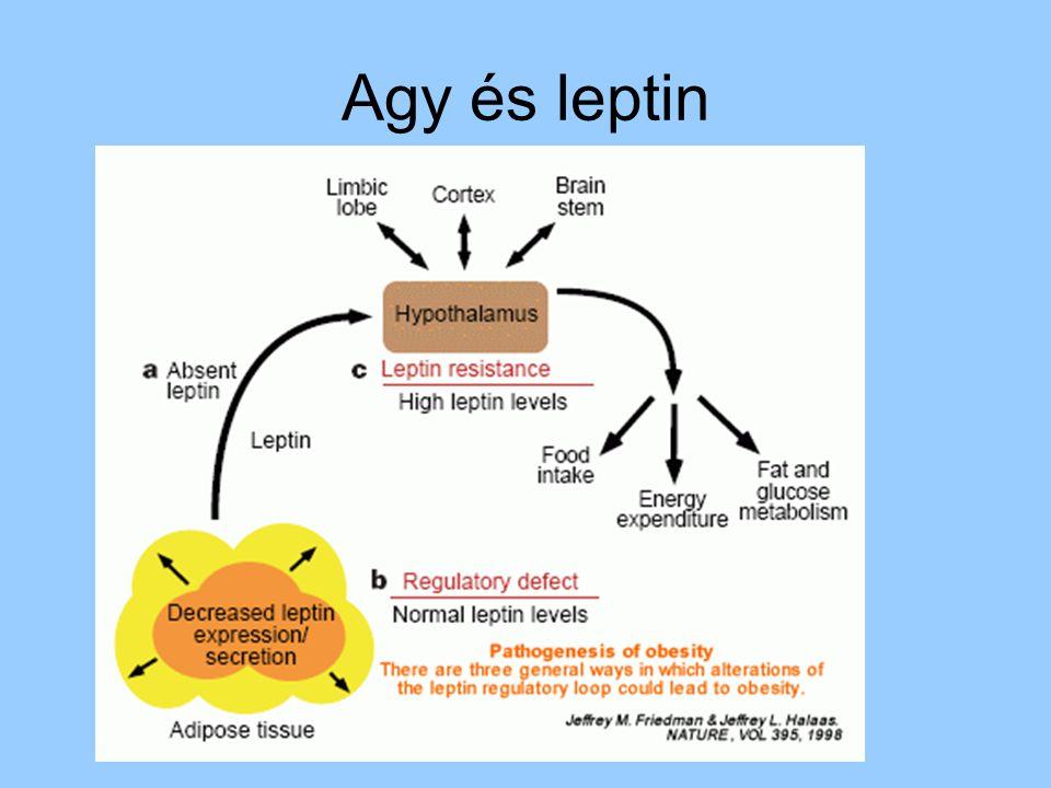 Agy és leptin