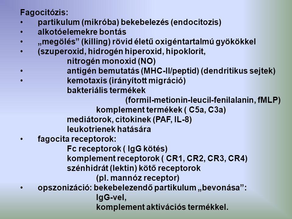 """Fagocitózis: partikulum (mikróba) bekebelezés (endocitozis) alkotóelemekre bontás. """"megölés (killing) rövid életű oxigéntartalmú gyökökkel."""