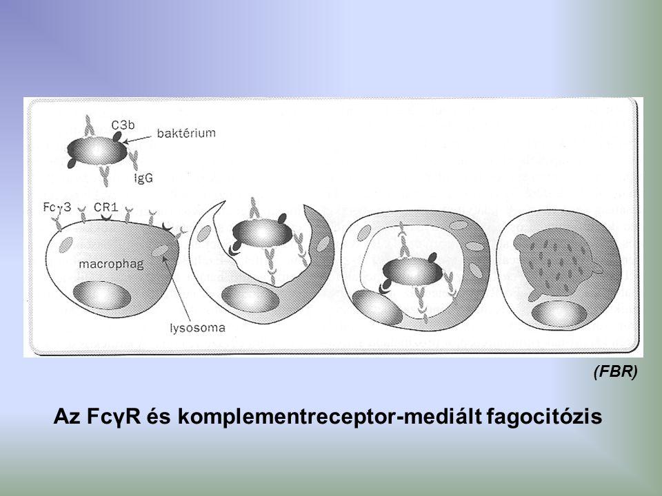 Az FcγR és komplementreceptor-mediált fagocitózis