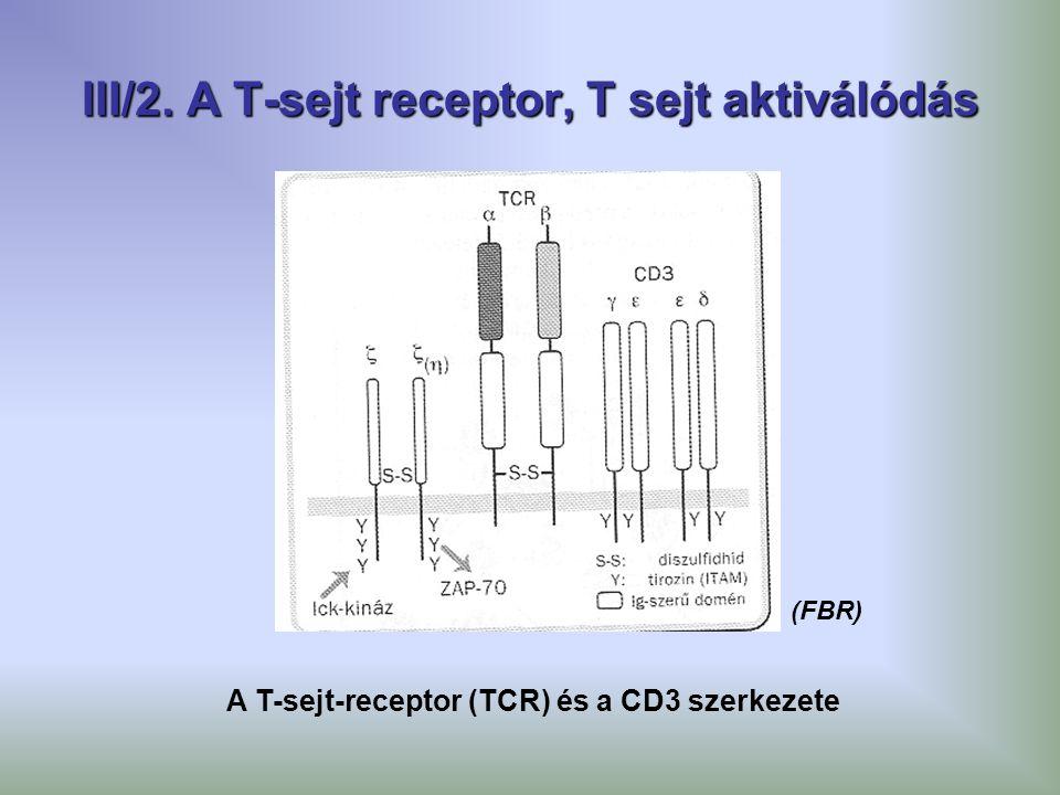 III/2. A T-sejt receptor, T sejt aktiválódás