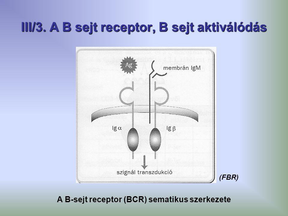 III/3. A B sejt receptor, B sejt aktiválódás