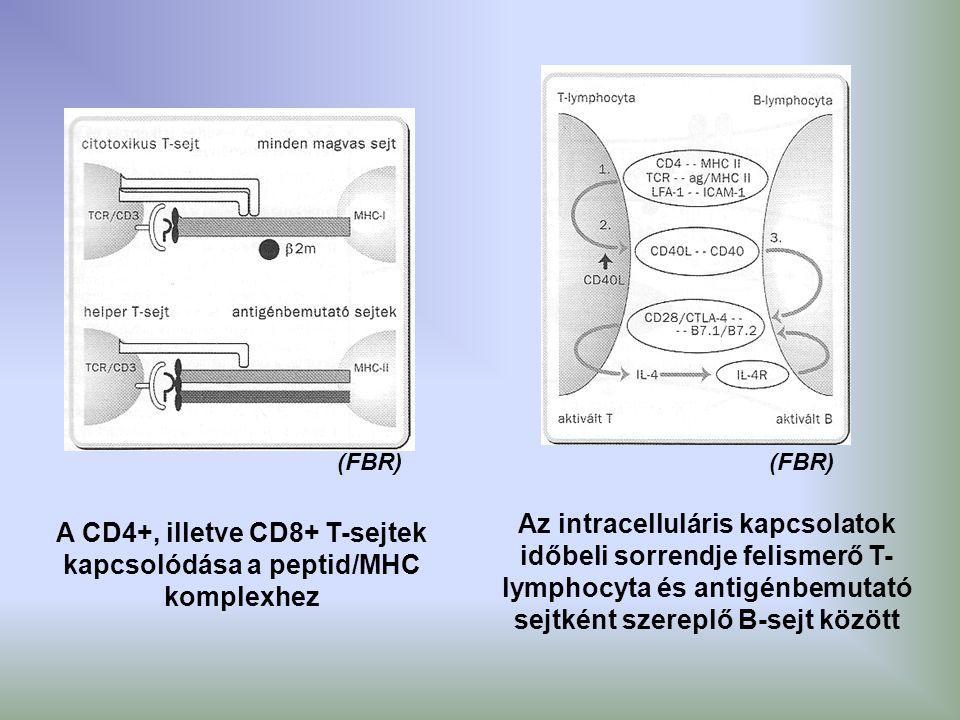 A CD4+, illetve CD8+ T-sejtek kapcsolódása a peptid/MHC komplexhez
