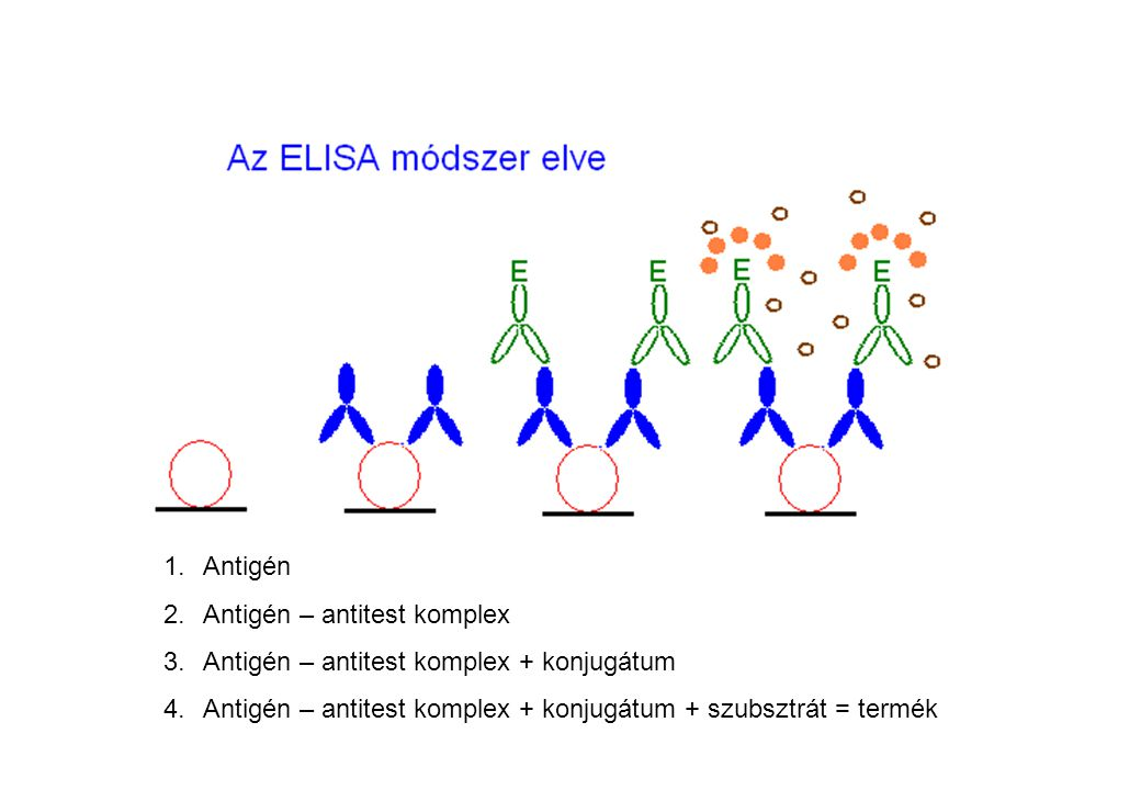 Antigén Antigén – antitest komplex. Antigén – antitest komplex + konjugátum.