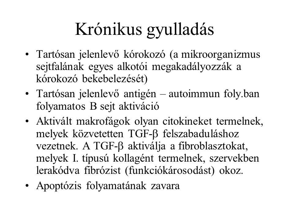 Krónikus gyulladás Tartósan jelenlevő kórokozó (a mikroorganizmus sejtfalának egyes alkotói megakadályozzák a kórokozó bekebelezését)