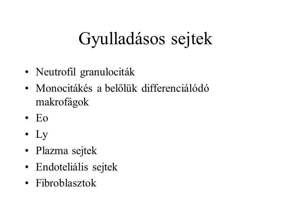 Gyulladásos sejtek Neutrofil granulociták