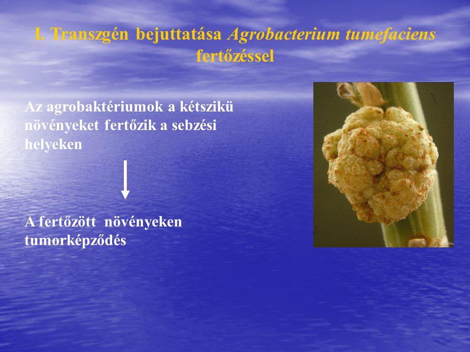 I. Transzgén bejuttatása Agrobacterium tumefaciens fertőzéssel