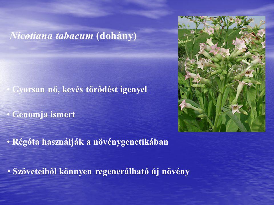 Nicotiana tabacum (dohány)
