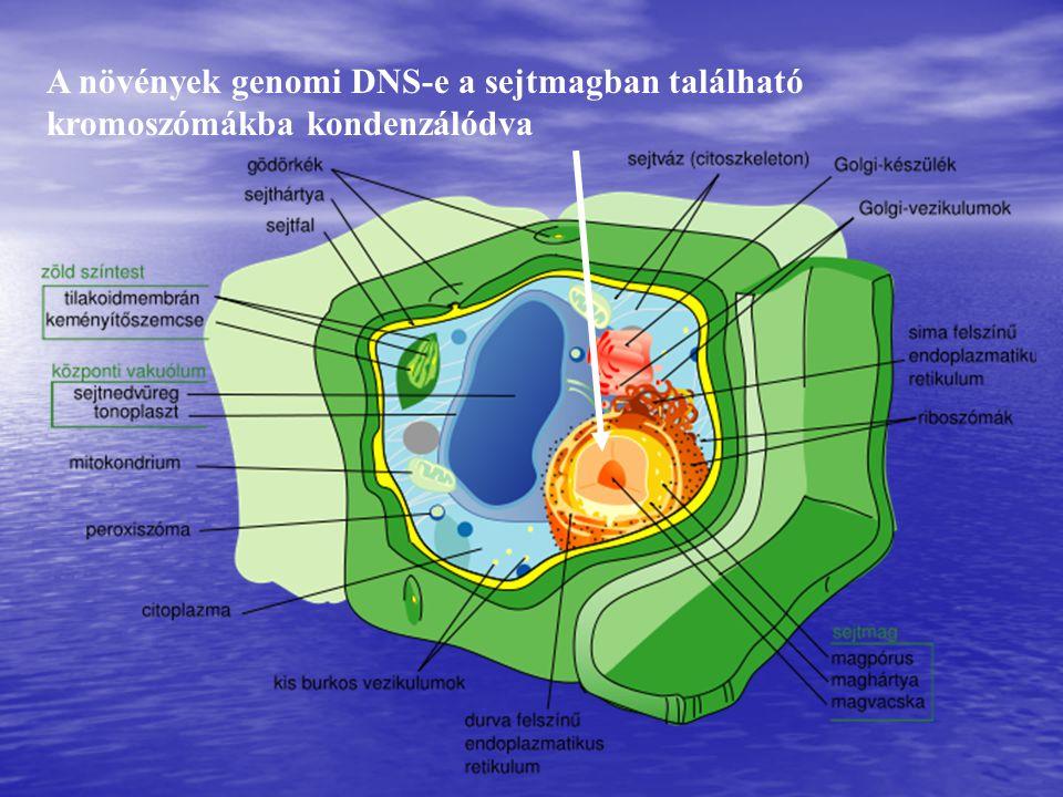 A növények genomi DNS-e a sejtmagban található kromoszómákba kondenzálódva
