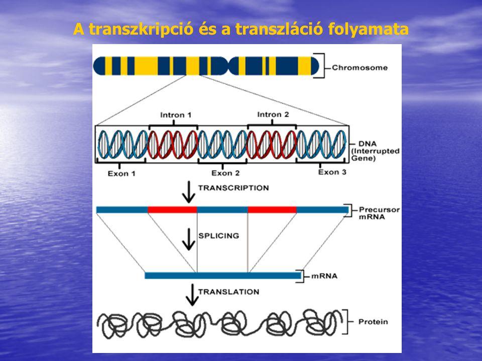 A transzkripció és a transzláció folyamata
