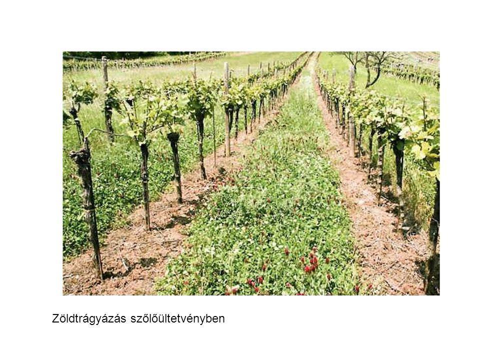 Zöldtrágyázás szőlőültetvényben