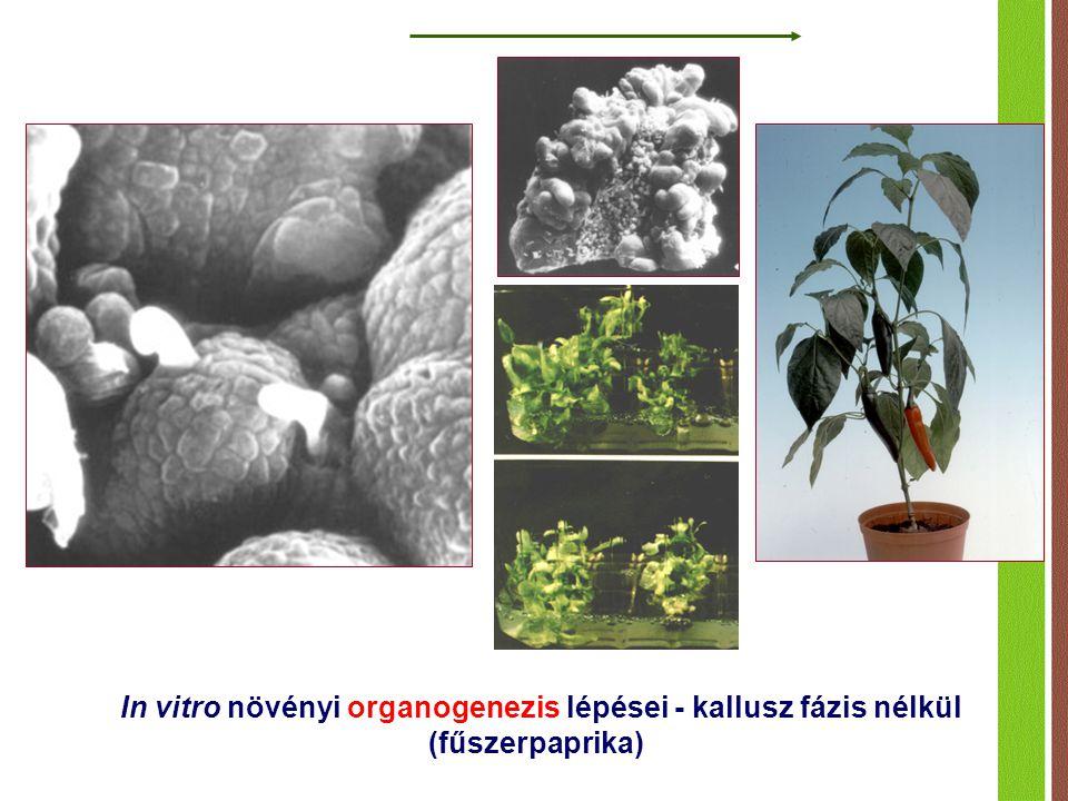 In vitro növényi organogenezis lépései - kallusz fázis nélkül