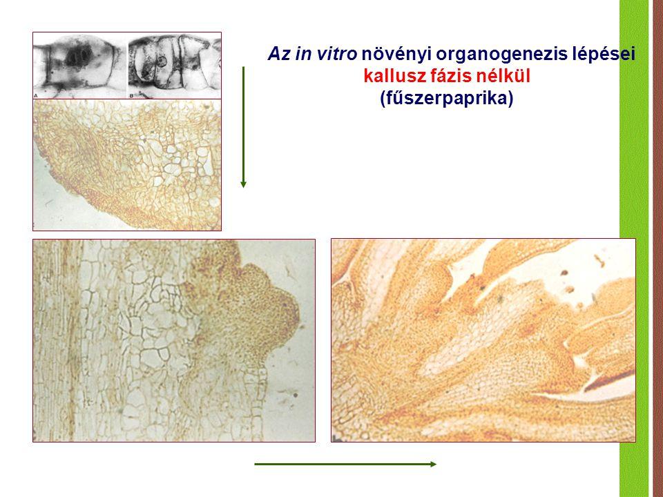 Az in vitro növényi organogenezis lépései