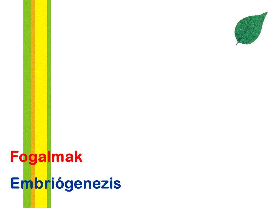 Fogalmak Embriógenezis