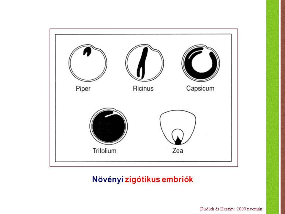 Növényi zigótikus embriók