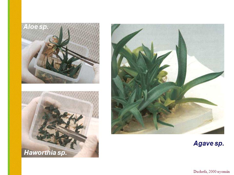 Aloe sp. Agave sp. Haworthia sp.