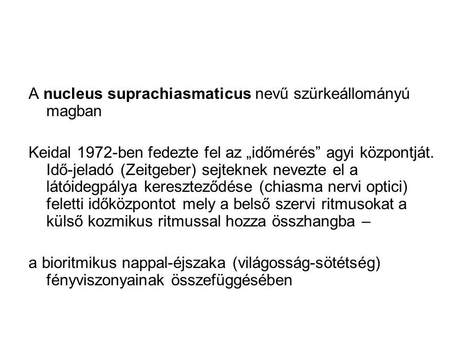 A nucleus suprachiasmaticus nevű szürkeállományú magban