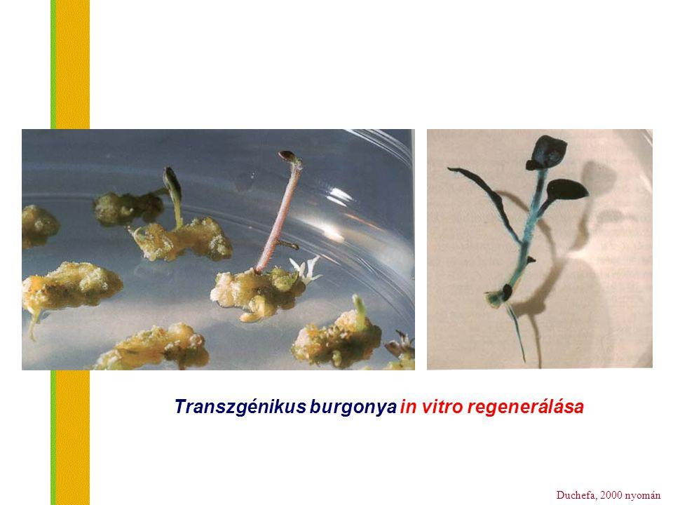 Transzgénikus burgonya in vitro regenerálása