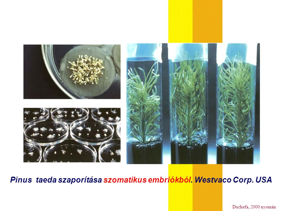 Pinus taeda szaporítása szomatikus embriókból. Westvaco Corp. USA