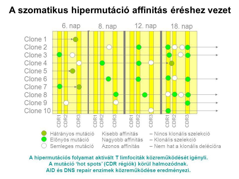 A szomatikus hipermutáció affinitás éréshez vezet