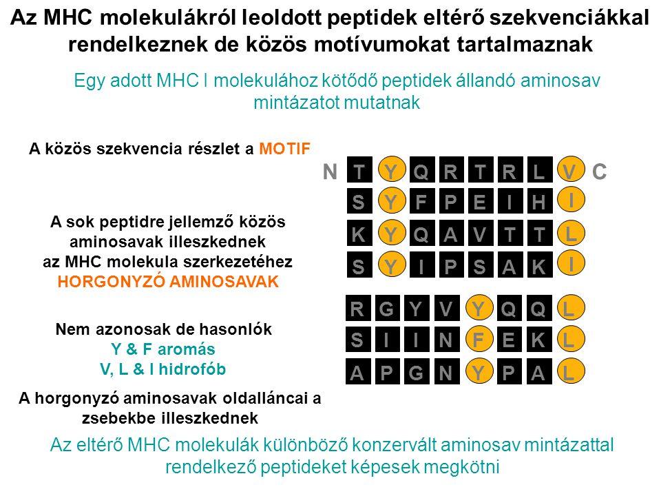 Az MHC molekulákról leoldott peptidek eltérő szekvenciákkal rendelkeznek de közös motívumokat tartalmaznak