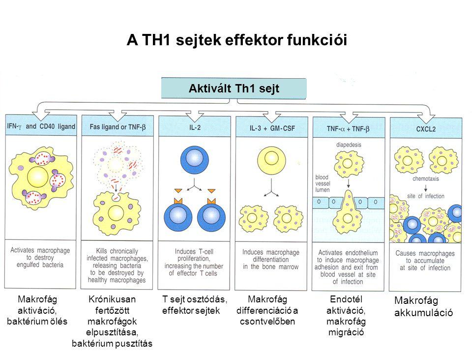 A TH1 sejtek effektor funkciói