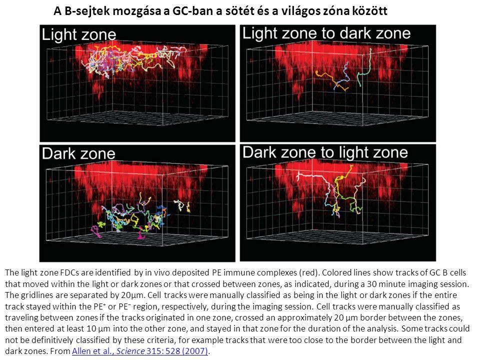 A B-sejtek mozgása a GC-ban a sötét és a világos zóna között