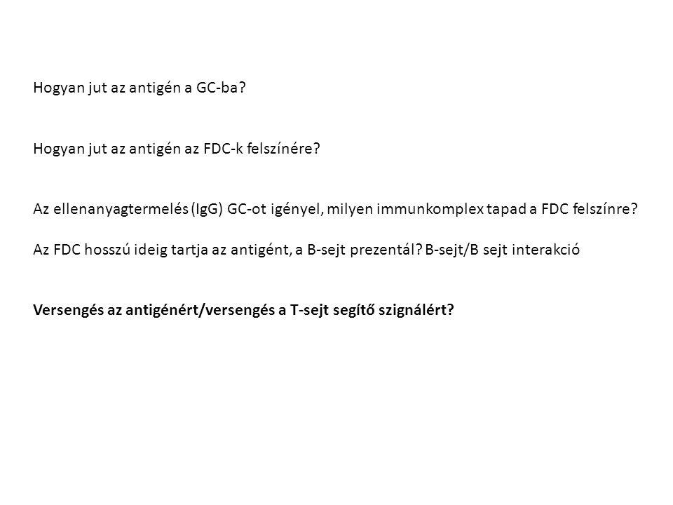 Hogyan jut az antigén a GC-ba