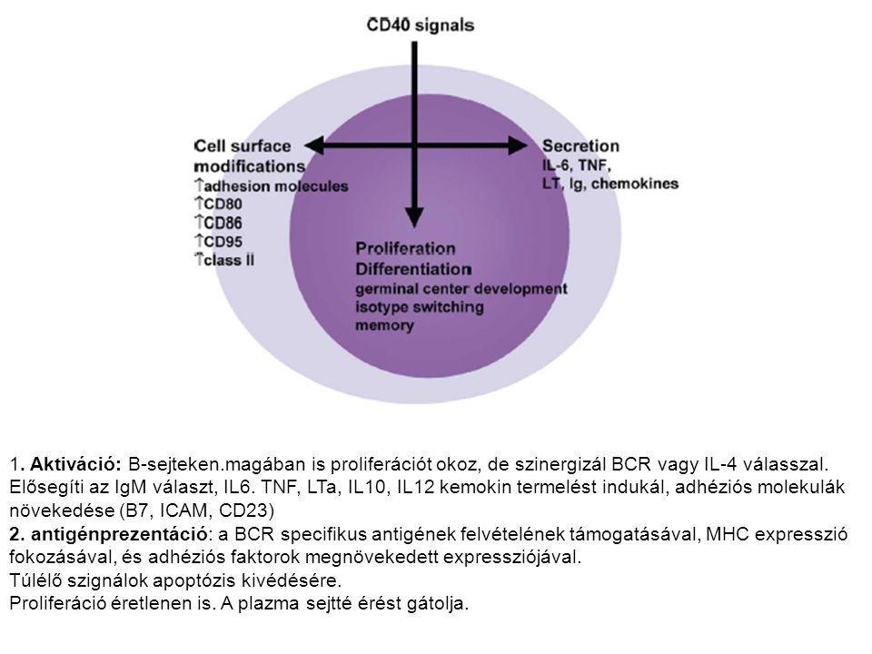 1. Aktiváció: B-sejteken