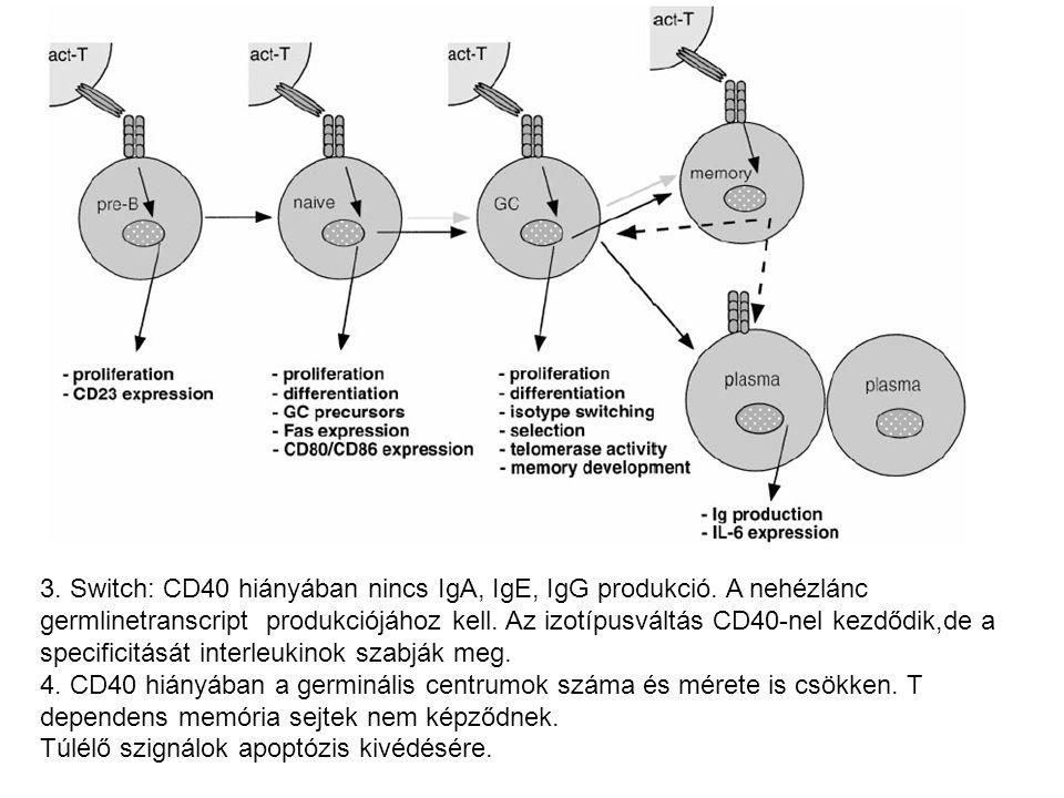3. Switch: CD40 hiányában nincs IgA, IgE, IgG produkció
