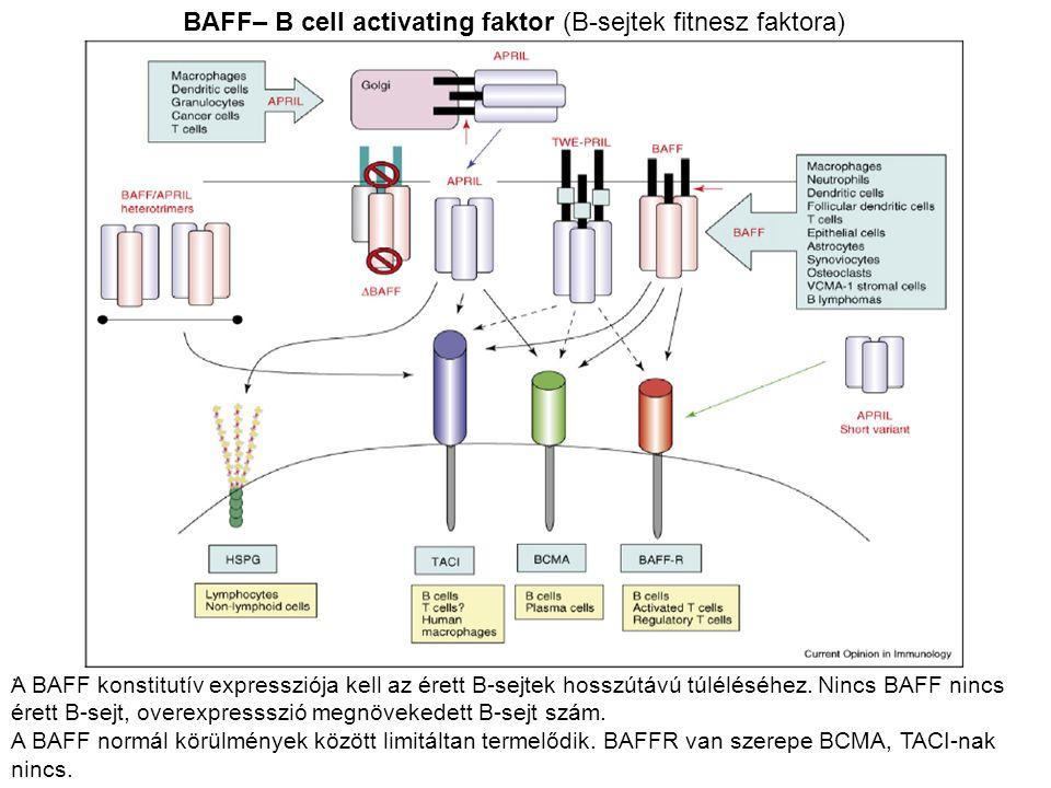 BAFF– B cell activating faktor (B-sejtek fitnesz faktora)