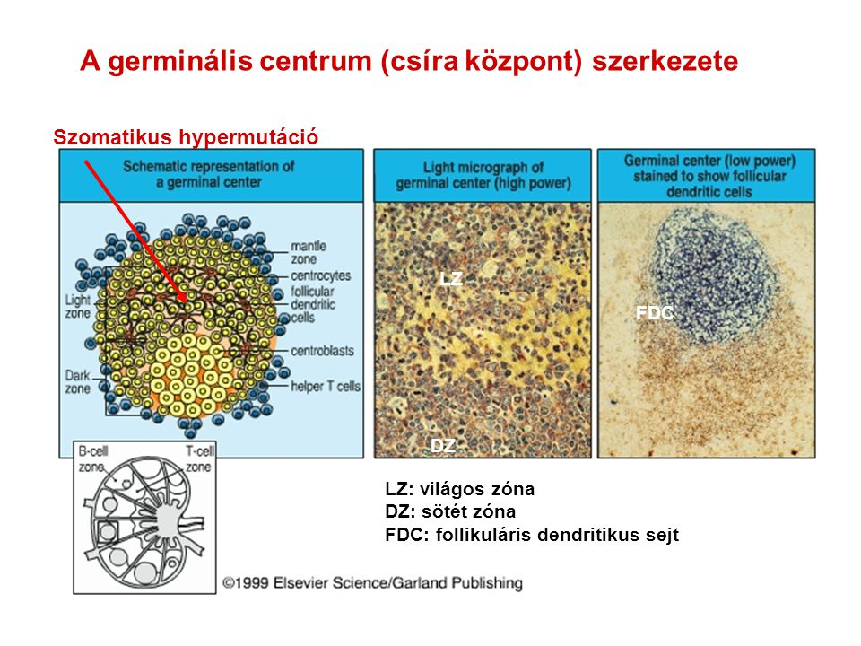 A germinális centrum (csíra központ) szerkezete