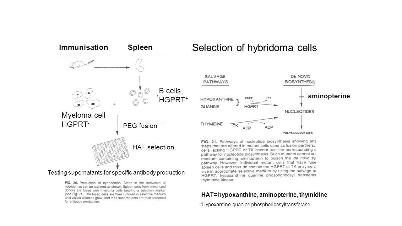HAT= hypoxanthine, aminopterine, thymidine