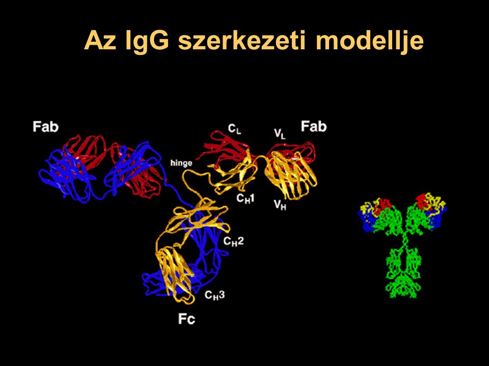 Az IgG szerkezeti modellje