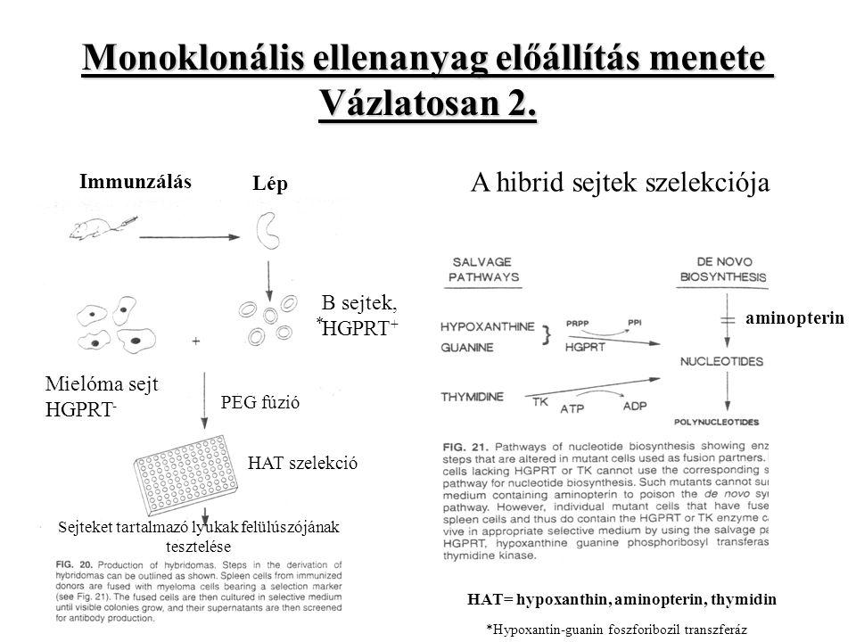 Monoklonális ellenanyag előállítás menete Vázlatosan 2.
