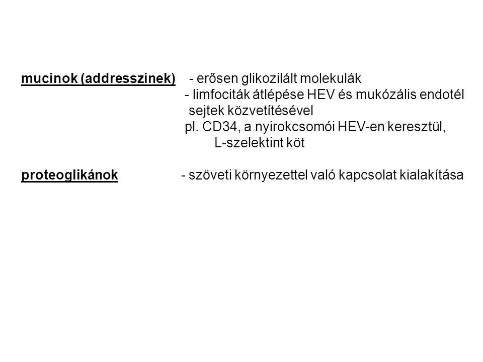 mucinok (addresszinek) - erősen glikozilált molekulák