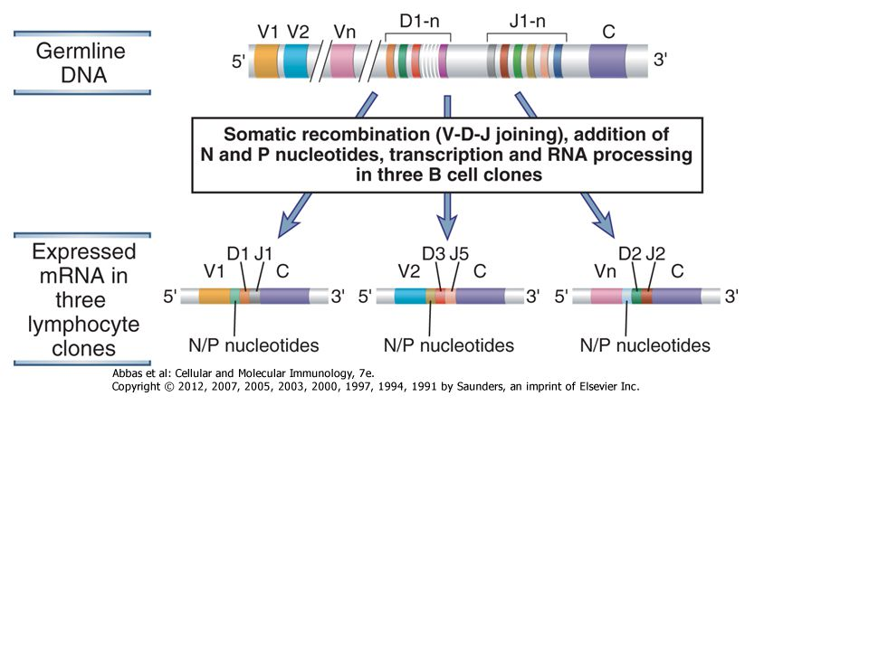 The process of V(D)J recombination at any Ig or TCR locus involves selection of one V gene, one J segment, and one D segment (when present) in each lymphocyte and rearrangement of these gene segments together to form a single V(D)J exon that will code for the variable region of an antigen receptor protein (Fig.