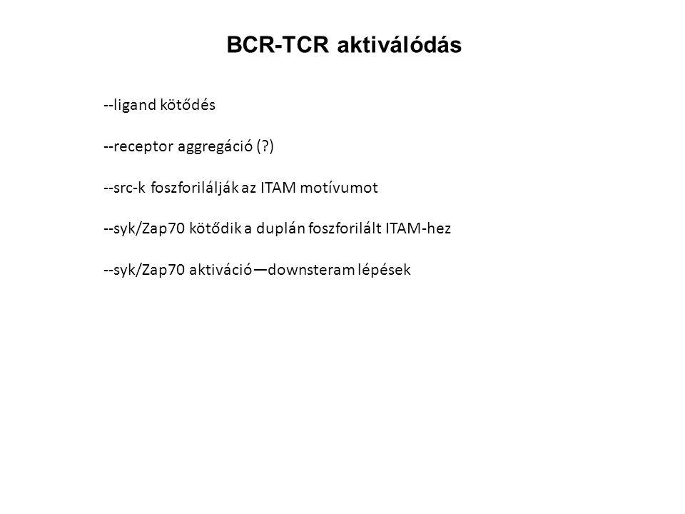 BCR-TCR aktiválódás --ligand kötődés --receptor aggregáció ( )