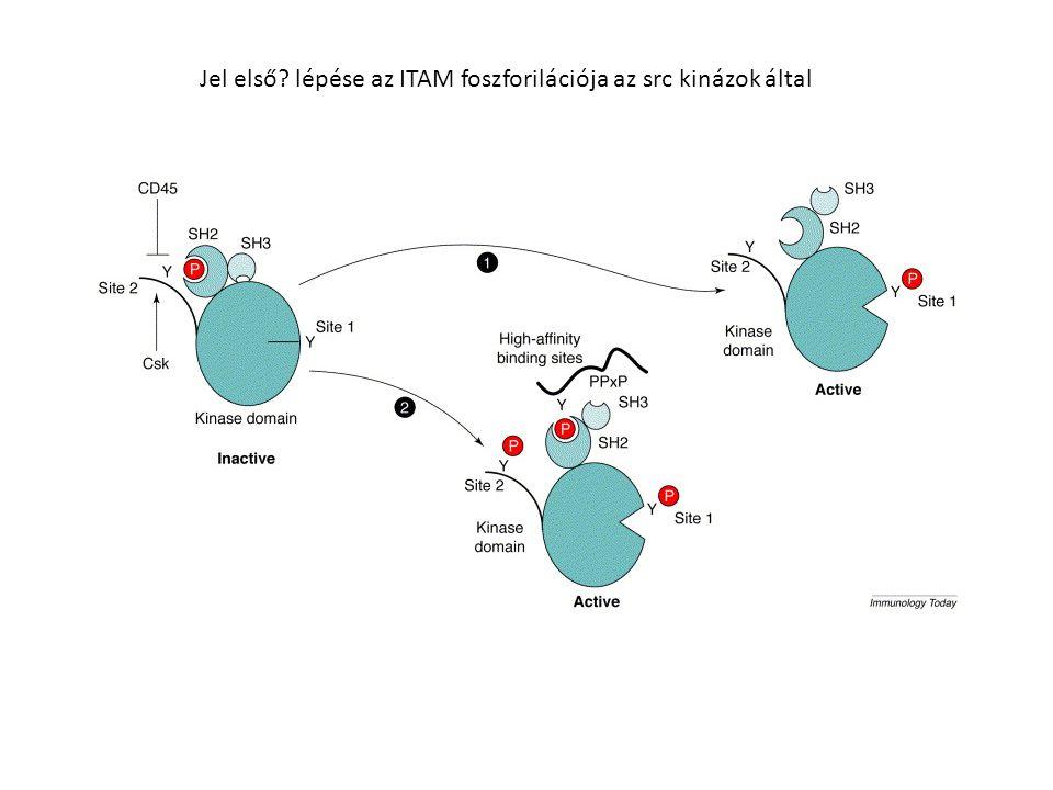 Jel első lépése az ITAM foszforilációja az src kinázok által
