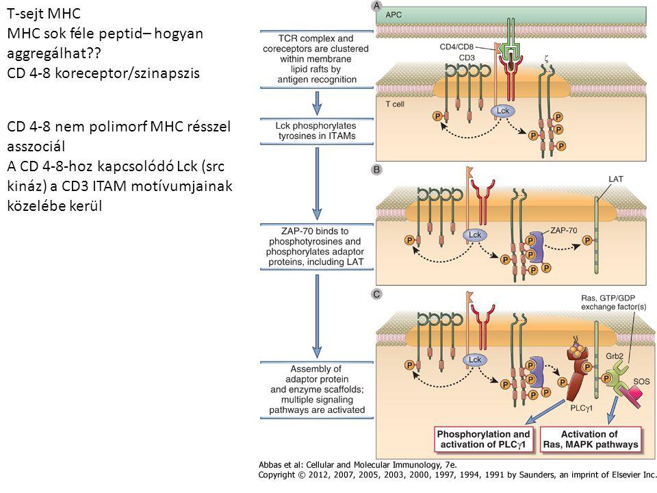 T-sejt MHC MHC sok féle peptid– hogyan aggregálhat CD 4-8 koreceptor/szinapszis. CD 4-8 nem polimorf MHC résszel asszociál.