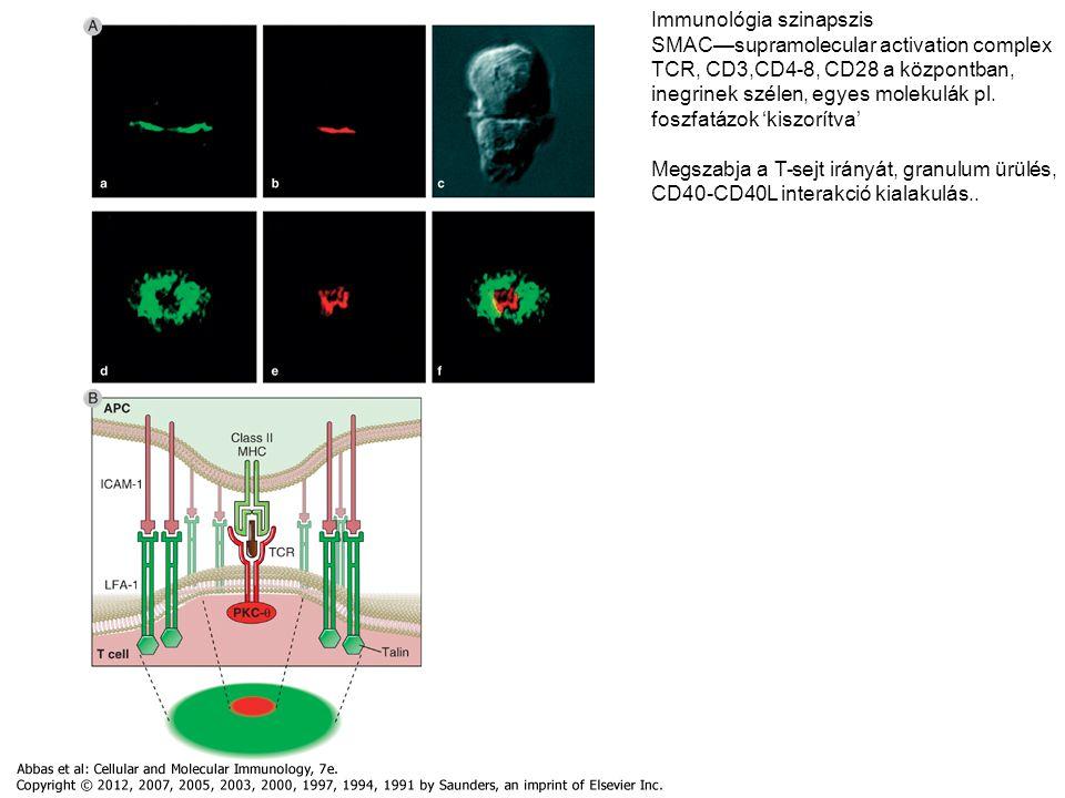 Immunológia szinapszis SMAC—supramolecular activation complex
