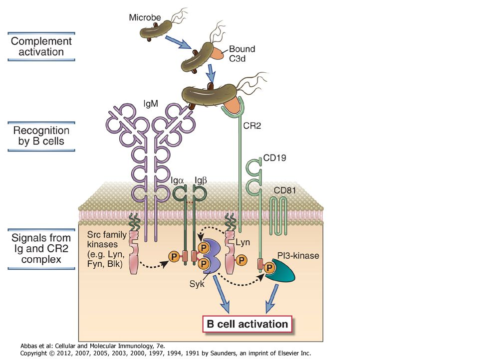 Figure 7-20 Role of complement in B cell activation