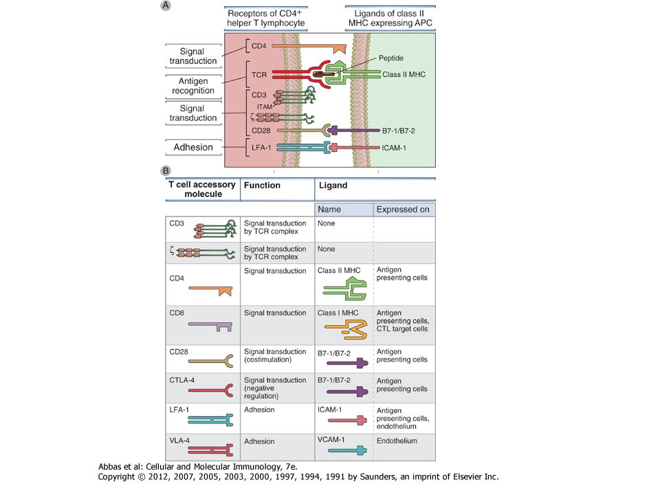 Figure 7-16 Activation of transcription factors in T cells