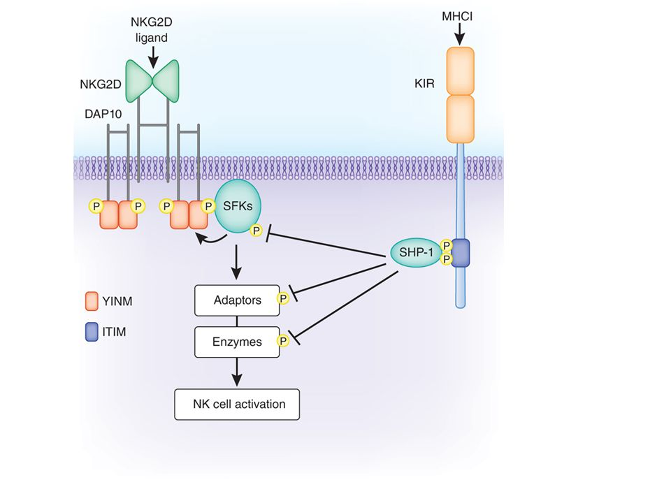 In human NK cells, the key inhibitory receptors can broadly be divided into three groups: KIRs or killer Ig-like receptors (see Chapter 4); ILT (Ig-like transcript) family proteins that are closely related to KIRs; and C-type lectins, the major one being a heterodimer consisting of the NKG2A C-type lectin and CD94.
