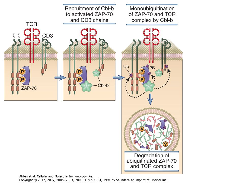 Figure 7-22 Role of the ubiquitin ligase Cbl-b in terminating T cell responses. Cbl-b is recruited to the TCR complex, where it facilitates the monoubiquitination of CD3, ZAP-70, and other proteins of the TCR complex. These proteins are targeted for proteolytic degradation in lysosomes and other organelles (not shown).