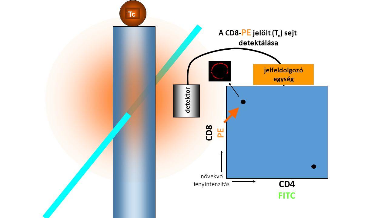 A CD8-PE jelölt (Tc) sejt