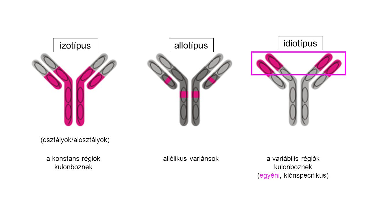idiotípus izotípus allotípus (osztályok/alosztályok)