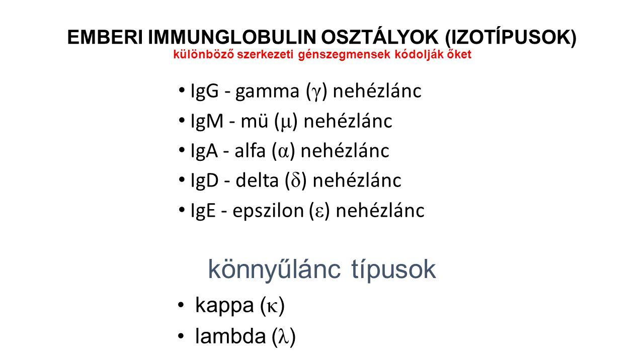 könnyűlánc típusok IgG - gamma (γ) nehézlánc IgM - mü (μ) nehézlánc